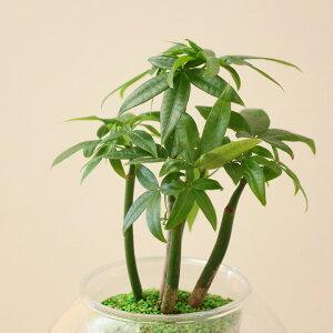 デコデコっとした風合いが心地よい、カラー陶器鉢に珍しいシダ植物、メラニーファンを植えて♪【観葉植物インテリア】