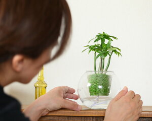 「植物が好きな方の、遊び道具」ヤッコカズラ個性バリバリ、幹・木質化