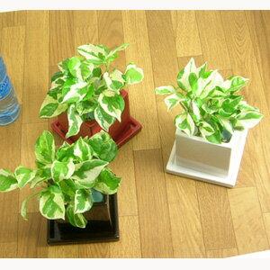 好評につき期間延長♪【ポイント2倍】美しい観葉植物 ポトス・エンジョイスクエア陶器鉢 室内