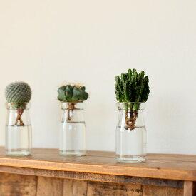 【お届けは1/24〜】サボテンを小さな瓶で、水耕栽培×1(今月の植物)【#元気いただきますプロジェクト】