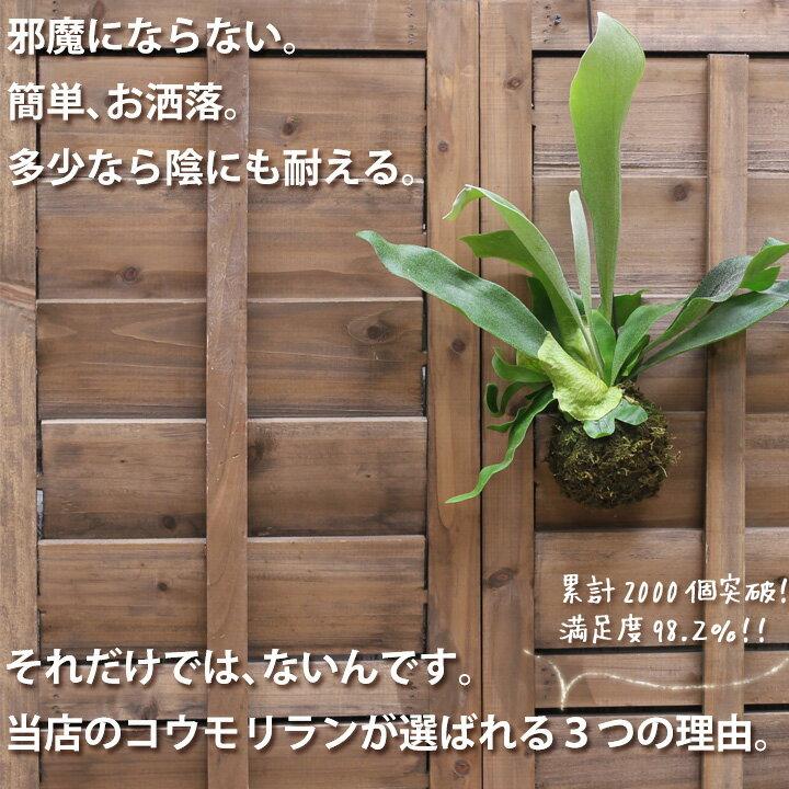 ●お届けは1/24〜【送料無料 観葉植物】コウモリランの苔玉(ビカクシダ)