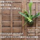 【送料無料 観葉植物】コウモリランの苔玉(ビカクシダ)