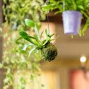 【送料無料】インテリア観葉植物コウモリランの苔玉(ビカクシダ)