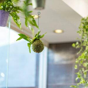 観葉植物コウモリランの苔玉