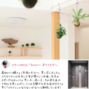 ☆1月限定ポイント5倍☆観葉植物コウモリランの苔玉インテリアネザーランド【ビカクシダインテリアハンギング吊るす】
