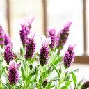 ●お届けは3/27〜花が大きいラベンダー(ラヴェアンナ)「ピンクロリポップ」4号鉢