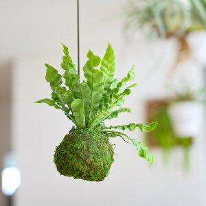 流通が少ない品種です!モコモコッ♪キュート&クールな多肉植物クラッスラ・レモータをアンティーク風テラコッタに植えて。嬉しい受皿付き!【クラッスラ属唯一のツル性植物モスポット】