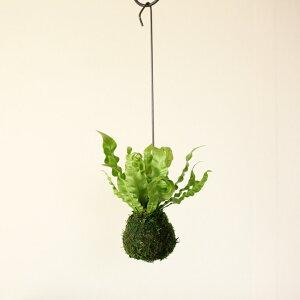 あっ、可愛い!思わず目をとめてしまう、不思議な葉世界最大の園芸見本市で、金メダル受賞!陰にも耐えて、大きくなりすぎない、現代の観葉植物アスプレニウム″エメラルドウェーブ″苔玉仕立て。