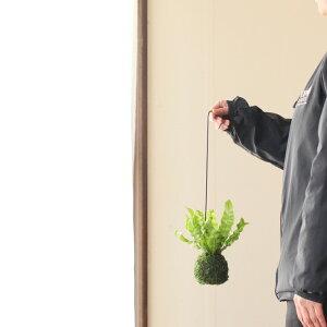 あっ、かわいい!世界最大の園芸見本市で、金メダル受賞!陰にも耐えて、大きくなりすぎない、現代の観葉植物アスプレニウム″エメラルドウェーブ″苔玉仕立て。【吊り下げインテリア室内】