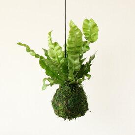【完売御礼!お届けは2/4〜】あっ、かわいい!陰に耐え、大きくなりすぎない現代の観葉植物アスプレニウム・エメラルドウェーブ苔玉仕立て。(今月の植物)【#元気いただきますプロジェクト】