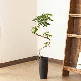 【送料無料】変わったカタチが逆におしゃれ!個性的な観葉植物をインテリアに是非♪シェフレラ「コンパクタ」の幹曲り