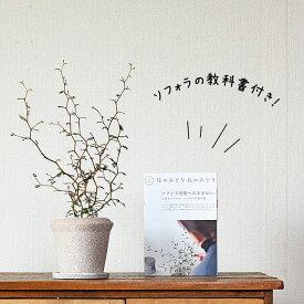 """ソフォラ・ミクロフィラ """"リトルベイビー″石の質感陶器鉢と、6ページからなる、ソフォラの育て方ガイド冊子"""