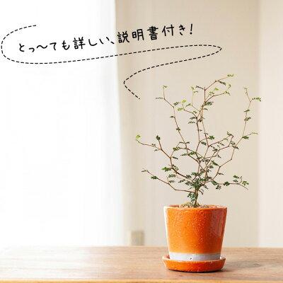 [観葉植物]小さいサイズですが、枝のいいとこ選んでます。クネクネ♪人気のソフォラ・ミクロフィラを、キュートなカラー陶器に植えて。【ミニ観葉植物なので、室内にインテリアとして飾りやすい!リトルベイビー】