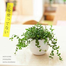 完売御礼!お届けは9/26〜MIZUGOKE栽培。名人が育てたプチ観葉