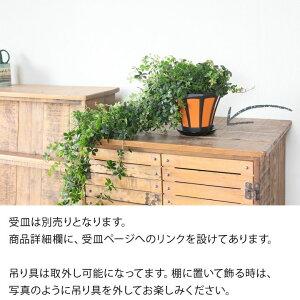 【送料無料】パルテノシッサス・シュガーバイン「スーパーロング」