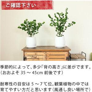 【送料無料】くるくるパーマが超可愛い☆フィカス・ベンジャミン・バロック白マット陶器鉢(受皿付き)