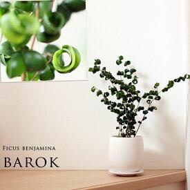 """【送料無料】フィカス・ベンジャミン""""バロック""""白マット陶器鉢(今月の植物)"""