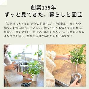 【送料半額】コウモリラン・ネザーランドの苔玉(ビカクシダ)