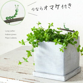 【お届けは2/4〜】今だけイモムシ君のオマケ付!【送料無料】ペペロミア・イザベル。(今月の植物)