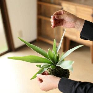 【送料無料!おしゃれ観葉植物】コウモリランの苔玉″ヴィーチー″