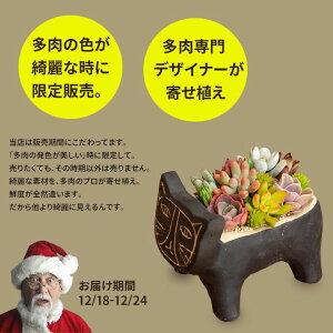 多肉植物コチレドン(熊童子)・そのまま飾れる硬質POT