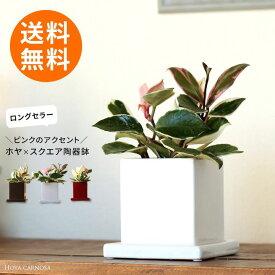 【送料無料】育てやすい観葉植物「ホヤ・カルノーサ」