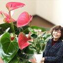 名人・小松さんのアンスリューム特秀品(今月の植物)