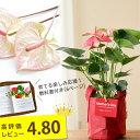 名人・小松さんのアンスリューム特秀品。 RootPouch社の布鉢で、より可愛く。(今月の植物)