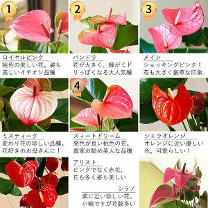 【送料無料母の日ギフト】とっても長く楽しめる!名人・小松さんが育てたアンスリュームピンク花BESTセレクション今年から鉢がバージョンUPで、一層可愛くなりましたー!