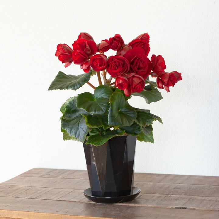 憧れのエラチオールベゴニア「レベッカ」の卓上サイズ(鉢色はお任せ。受皿のオマケ付き!)