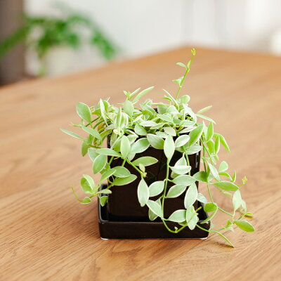 [植木鉢]人気の白のスクエア!シンプルで、どんな植物にもあわせやすい陶器鉢【おしゃれ植木鉢3号向けホワイト566】