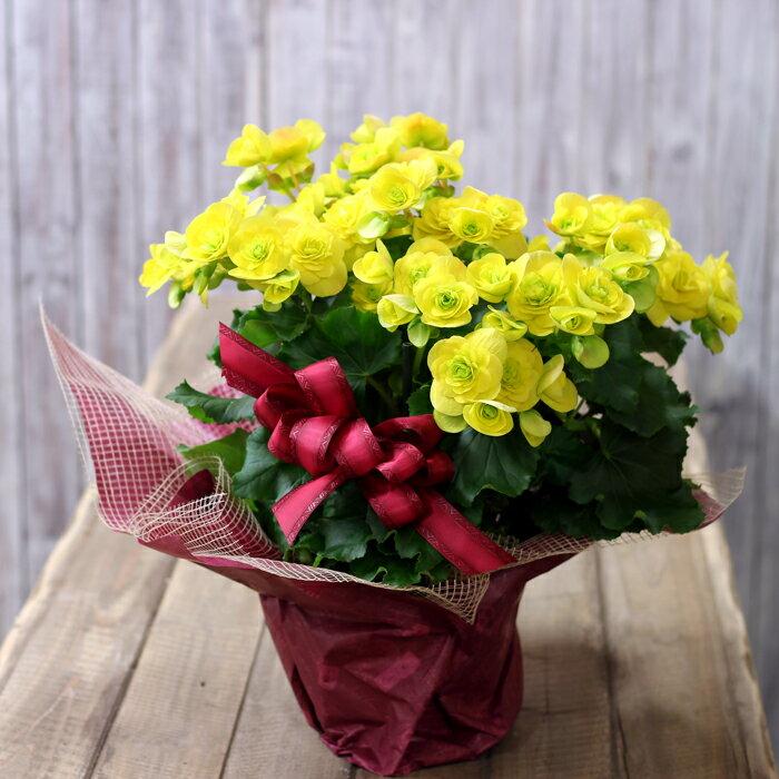 【送料無料】※同梱不可商品豪華な八重咲イエローエラチオールベコニア「コスモノア」