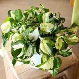 完売御礼!お届けは10/2〜1年で数ヶ月しか販売できない、希少な品種。ポトスの王様こと、「ステータス」5号鉢サイズ(今月の植物)