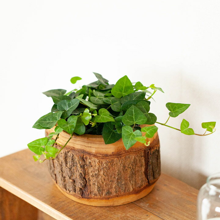 【お買い得プライス】ハートのヘデラ「サーク」を、木の鉢にいれて。