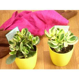 多肉植物黄色い鉢は、風水的にもGOOD!金のなる木シンシン【斑入り花月】