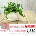 ●完売御礼!お届けは5/23〜観葉植物 送料無料ペペロミア・フォレット育てやすい観葉植物です。【観葉植物 インテリア】