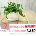 ●完売御礼!次回お届けは7/4〜観葉植物 送料無料ペペロミア・フォレット育てやすい観葉植物です。【観葉植物 インテリア】