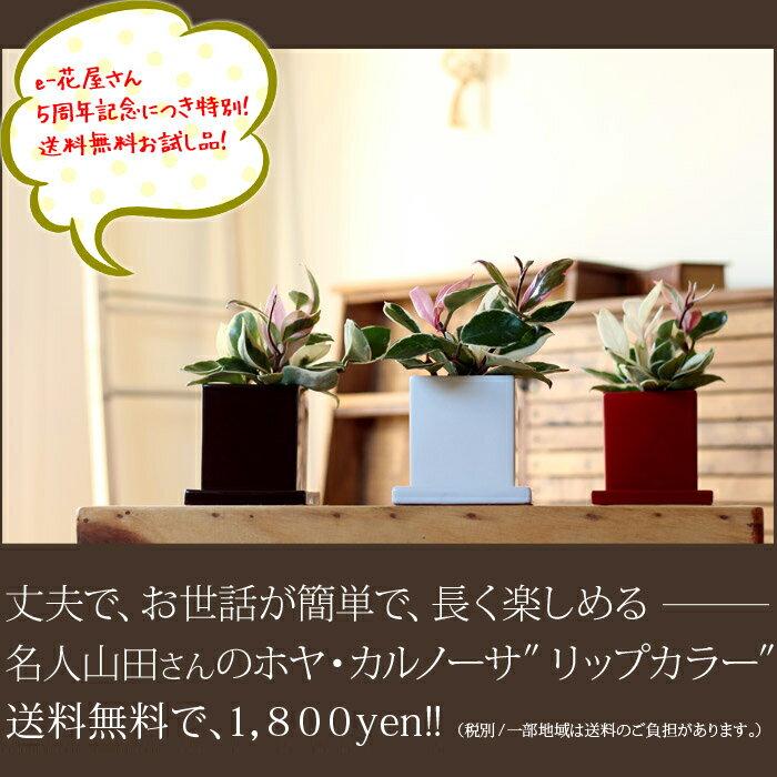 ●お届けは2/20〜2月末まで!【ポイント2倍】観葉植物 ホヤ・カルノーサ【送料無料】