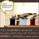 ●完売御礼!お届けは3/6〜3月限定!【ポイント2倍】観葉植物 ホヤ・カルノーサ【送料無料】