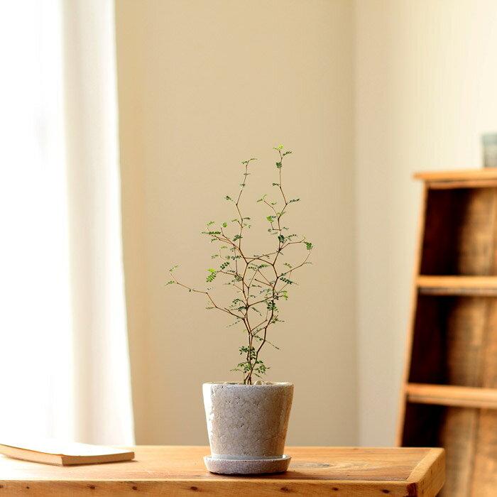 [観葉植物] 小さいサイズですが、枝のいいとこ選んでます。クネクネ♪人気のソフォラ・ミクロフィラを、キュートなカラー陶器に植えて。【ミニ観葉植物なので、室内にインテリアとして飾りやすい! リトルベイビー】