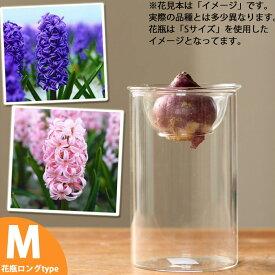 花も綺麗ですが,「花が咲くまで」がいいんデス!球根デビューしちゃおうかな♪ヒヤシンス(水栽培用球根)とガラス花瓶(Mサイズ)のセット【ヒアシンス フラワーベース】