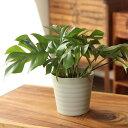 観葉植物 杉山さんの姫モンステラインテリア性も抜群の観葉植物です!【ヒメモンステラ】