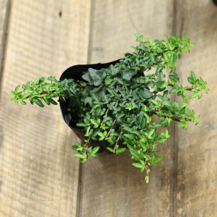 世界一、葉が小さいアイビー「スペチュリィ」。寄せ植えにしても可愛いよ♪【3号苗 ヘデラ・へリックス】
