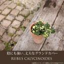 【半日陰を好む、屋外の植物です】ルブス・ライムパラソル3号苗