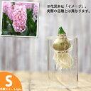 球根デビューしちゃおうかな♪ヒヤシンス(水栽培用球根)とガラス花瓶(Sサイズ)のセット【ヒアシンスの水栽培】