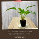 な、なんと!\ポイント10倍/塊根、そして葉。「どちらも見応えがある」植物モノレナ・プリムリフローラ