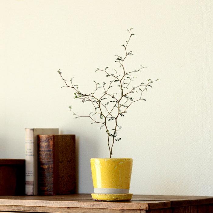 ●お届けは3/27〜[観葉植物] 小さいサイズですが、枝のいいとこ選んでます。クネクネ♪人気のソフォラ・ミクロフィラを、キュートなカラー陶器に植えて。【ミニ観葉植物なので、インテリアとして飾りやすい! リトルベイビー】