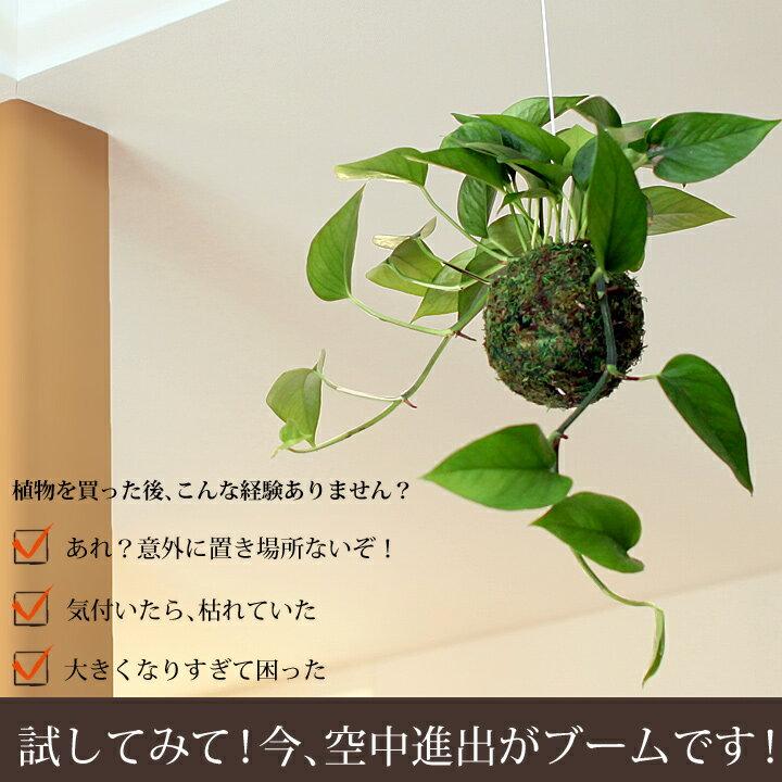 人気の吊り下げ観葉植物ポトス・パーフェクトグリーンの苔玉【観葉植物 吊るす】