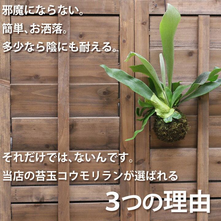 ●お届けは1/27〜【試して欲しいから。今だけ!送料無料】観葉植物 コウモリランの苔玉【ビカクシダ インテリア】
