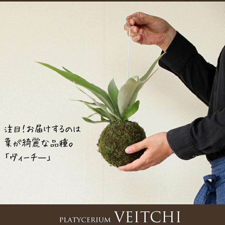 【今だけ、送料無料!】観葉植物・コウモリランの苔玉葉が美しい品種″ヴィーチ—″【ビカクシダ・ビーチ— 吊り下げ】